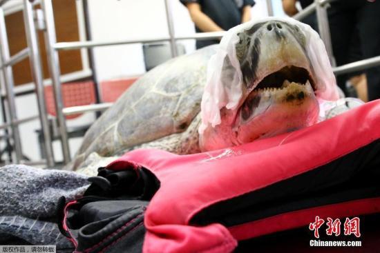 当地时间2017年3月21日,泰国曼谷,海龟Omsin曾误吞许愿池内915枚硬币,结果导致严重健康问题,泰国朱拉隆功大学早前为其手术取出硬币,但由于健康问题,3月21日Omsin去世。(资料图)
