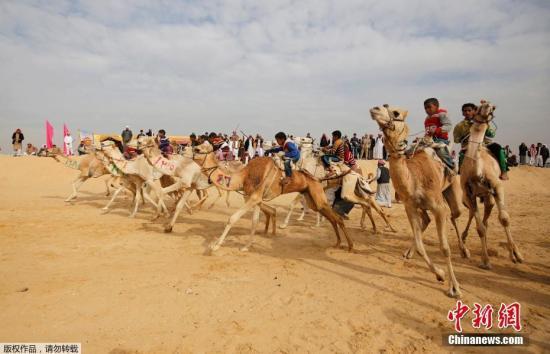 资料图片:埃及伊斯梅利亚举行骆驼比赛。