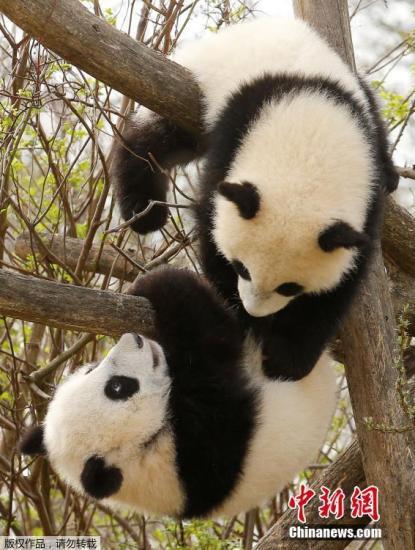 """当地时间2017年3月23日,奥地利维也纳美泉宫动物园,双胞胎大熊猫宝宝""""福伴""""和""""福凤""""。2016年8月7日,""""阳阳""""和大熊猫""""龙徽""""通过自然交配产下""""福伴""""和""""福凤""""。"""