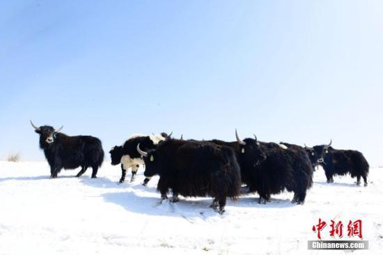 地里的牦牛。 武雪峰 摄