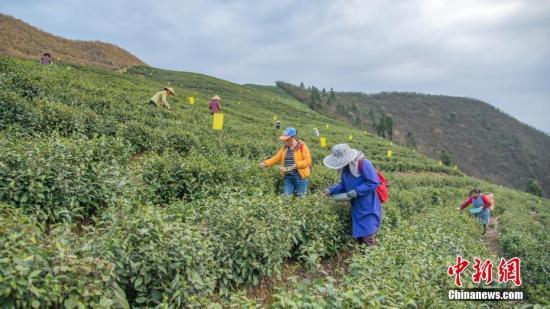 3月27日,清明节前夕,贵州省岑巩县客楼镇海拔1100多米的仙境坡上,茶农正在采摘开春以来的第一批茶叶翠芽——高山云雾茶。毛权武 摄