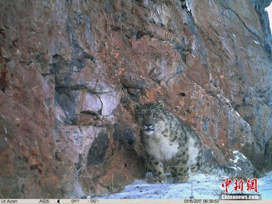 青海玉树发现雪豹幼崽 初证为本地种群