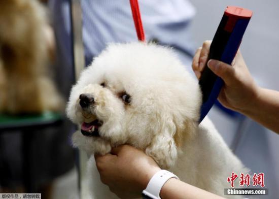 一名参展者给自己的宠物狗梳理毛发。