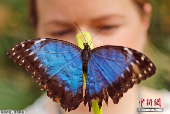 资料图:当地时间2017年3月30日,英国伦敦,英国伦敦自然历史博物馆举办奇异蝴蝶展,儿童与蝴蝶亲密接触。