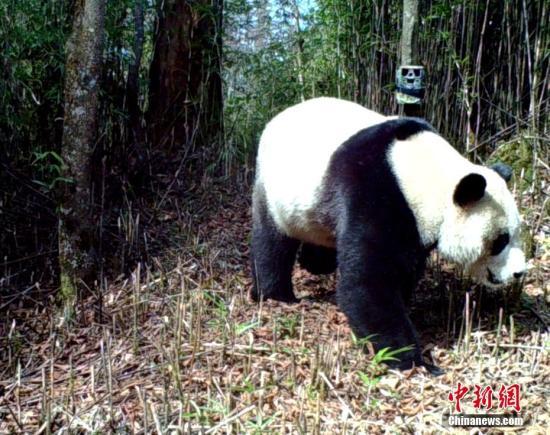 资料图:红外相机拍摄的野生大熊猫。中新社记者 钟欣 摄