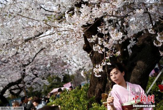 资料图:东京女子身穿和服,漫步樱花树下。