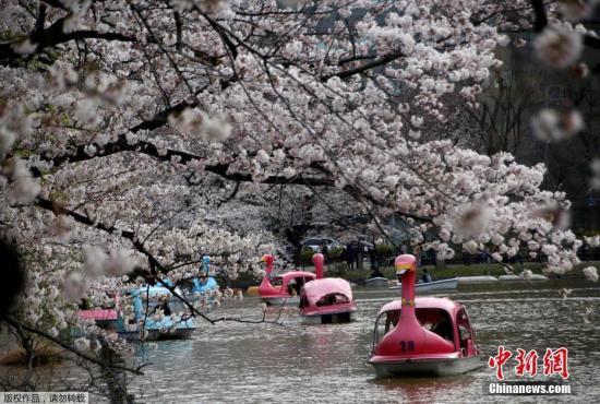 资料图:东京的一个公园内,人们游船赏樱。