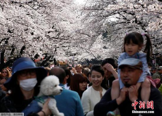 资料图:2017年4月5日,日本东京,樱花盛开。