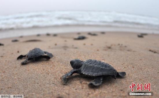 资料图:小海龟奔向大海。
