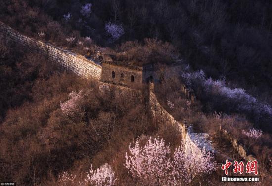 北京箭扣长城内外万亩杏花盛开,把古老长城装点的分外妖娆。 图片来源:视觉中国