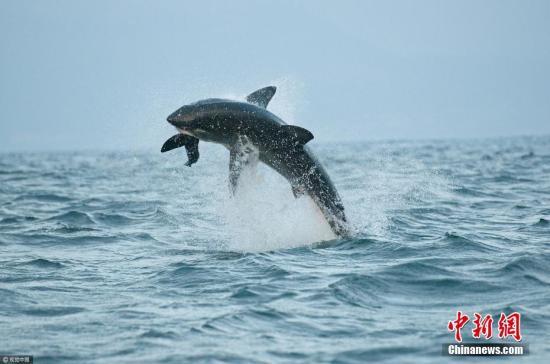 2017年4月12日新闻,南非开普敦,一条大白鲨被船只投放的海豹诱饵吸引,跃出水面高达1.5米进走捕食。图片来源:视觉中国