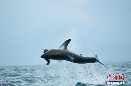 2017年4月12日消息,南非开普敦,一条大白鲨被船只投放的海豹诱饵吸引,跃出水面高达1.5米进行捕食。图片来源:视觉中国