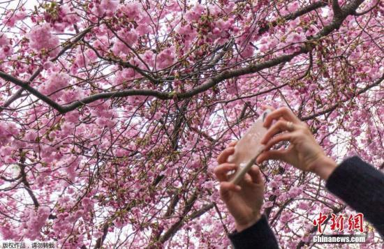 当地时间2017年4月13日,瑞典斯德哥尔摩,樱花盛开,民众纷纷驻足拍照。