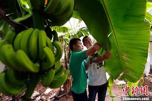 资料图:挂在树上的香蕉。(<a target='_blank' href='http://www.chinanews.com/'>中新社</a>记者 富田 摄)