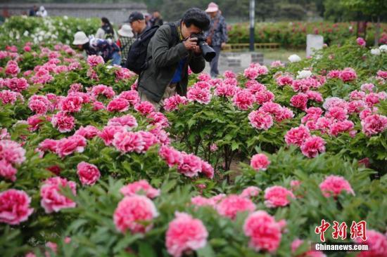 资料图:民众在圆明园含经堂遗址欣赏春日牡丹。<a target='_blank' href='http://www.chinanews.com/'>中新社</a>记者 崔楠 摄
