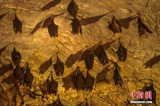 资料图片:蝙蝠。