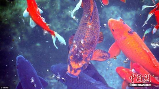 资料图:锦鲤。图片来源:视觉中国