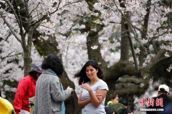 当地时间4月29日,加拿大多伦多知名的樱花胜地海柏公园(High Park)迎来大批踏春、赏樱的民众。樱花盛放期短促,加之海柏公园的樱花当年由日本引进,大部分树龄已超半个世纪,面临寿终,更吸引民众借周末前来争睹花容。 <a target='_blank' href='http://www.chinanews.com/'>中新社</a>记者 余瑞冬 摄