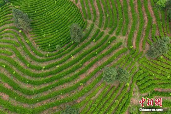 资料图:5月3日,航拍南昌湾里区大客天下客家风情园的千亩茶园。刘占昆 摄