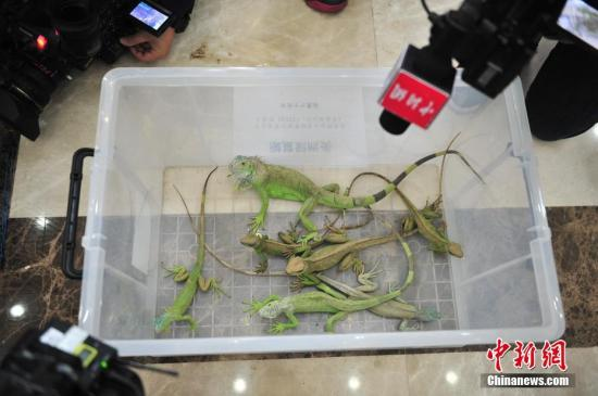 资料图:蜥蜴。中新社记者 刘冉阳 摄