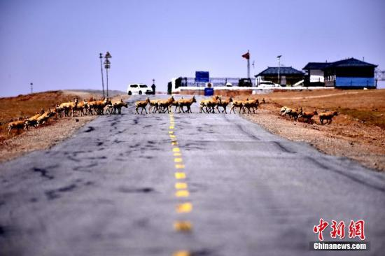 Tibetan antelopes cross a road in Yushu, Northwest China's Qinghai province, May 15, 2018. [Photo/China News Service]