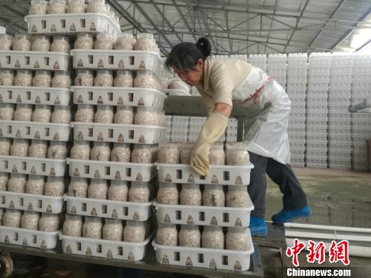 资料图:食用菌工厂的车间,一名年过五旬的贫困对象整齐地摆放好食用菌材料。 苏路程 摄