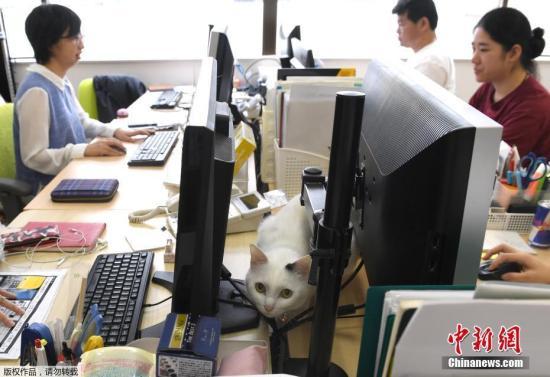 """当地时间2017年5月16日,日本东京,一家公司的IT办公区的猫们和""""工作狂""""作伴。这家企业从2000年起推出""""猫咪政策"""",员工可将猫咪带来上班缓和紧张气氛。报道称,目前,办公室有9只猫咪,看着猫咪睡在自己的旁边,让员工忍不住直呼""""超治愈""""。据悉,Ferray公司不仅特别开设推特帐号""""晒猫"""",如果员工领养流浪猫,还可享有5000日圆的津贴。不过,可爱的猫咪也免不了""""闯祸"""",偶尔猫咪在电话上""""走秀""""时会不小心切断来电,或关掉电脑电源。"""