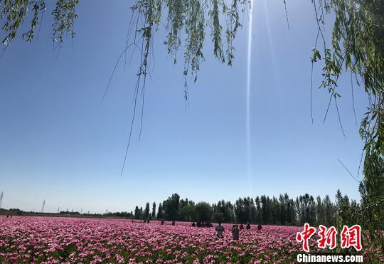 新疆兵团第八师石河子总场百余亩芍药花、牡丹花进入花期。 孙静 摄