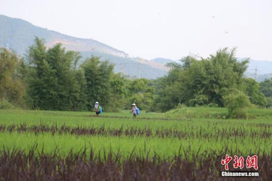 资料图:农民正在护理水稻。林馨 摄