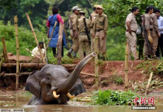 这头小象是5天前误闯入沼泽地,后腿受伤,被困在水塘里。当地村民和兽医得知情况后,带着驯养大象前来救援。