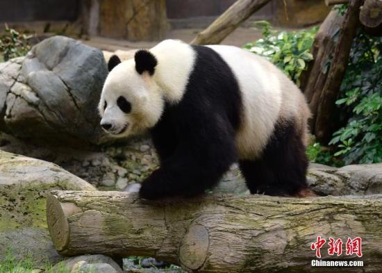 资料图:大熊猫乐乐。<a target='_blank' href='http://www.chinanews.com/'>中新社</a>记者 徐冬冬 摄