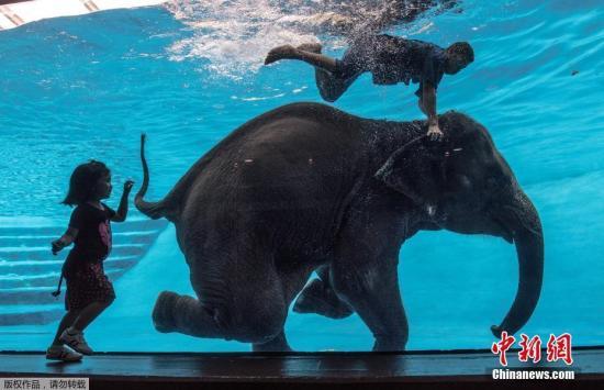 资料图:当地时间2017年6月1日,泰国春武里,在当地的绿山国家动物园内,8岁的雌性大象正和象夫泳池中潜水。该动物园时常会进行大象游泳和潜水表演,以吸引游客推广旅游。