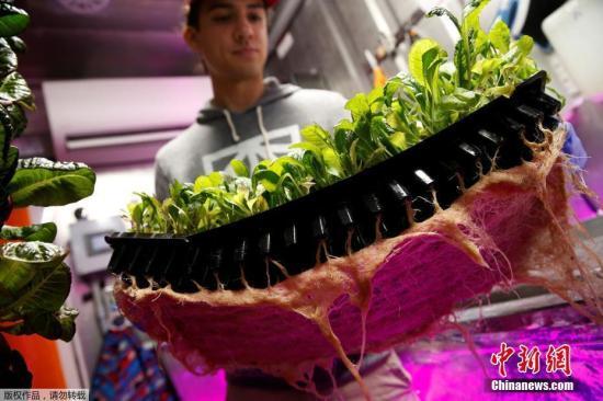 农场还能根据顾客的需求做订制蔬菜。如果顾客需要口味不同的蔬菜,农场主们可以用数学和模型来改变环境条件,下一次就能生产出更符合顾客口味的植物。图为一名农场主拿着一盘芥菜苗,准备将它们移栽进集装箱农场里。