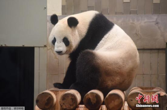 """当地时间2017年6月12日,东京上野动物园的雌性大熊猫""""真真""""产下一只幼崽。上野动物园大熊猫产子是5年来第一次,上次得追溯到2012年。(资料图)"""