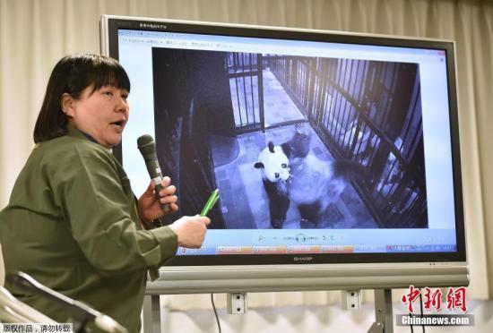 相亲产子促经济中国旅日大熊猫最近有点忙