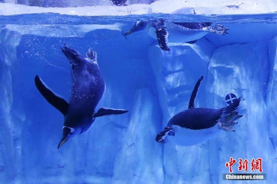 资料图:企鹅。泱波 摄