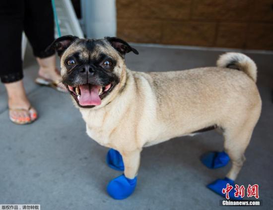 当地时间6月20日,美国亚利桑那州坦佩市,一只4岁的小狗穿上了隔热靴,以防止被高温路面烫伤脚。当日,美国西南部各地迎来高温天气,部分地区当天最高温度达到华氏120度(约48.9摄氏度),地方政府已经发布健康预警,另外还有多个航班因高温取消。