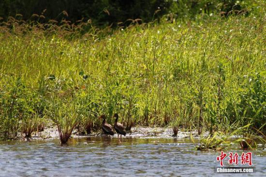 巴拿马运河掠影,生活在运河区的禽类。<a target='_blank' href='http://www.chinanews.com/'>中新社</a>记者 余瑞冬 摄