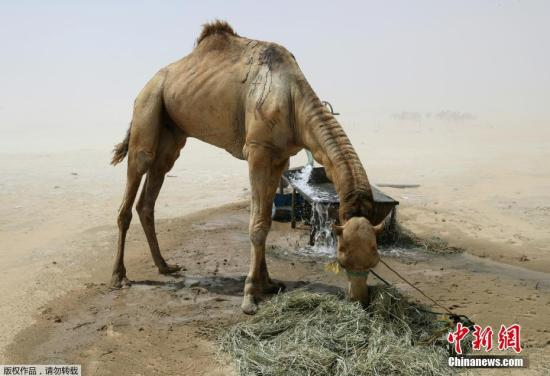 据一家纸媒报道,约1.2万头骆驼和羊成为了海湾外交危机的最新受害者,这些动物被迫从沙特阿拉伯返回卡塔尔。