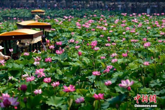 """6月27日,北京北海公园第二十届荷花展开幕,本届荷花展以""""御苑风采 荷露凝香""""为主题,通过景区展示、科技科普、摄影竞赛等多种形式让百姓更加了解荷花文化。在北海公园荷塘内千余平米的红莲及太空莲已进入盛花期,此外,两万余盆各类荷花也已布置在公园内各景点供游人观赏。荷花展将持续至8月10日。中新社记者 富田 摄"""