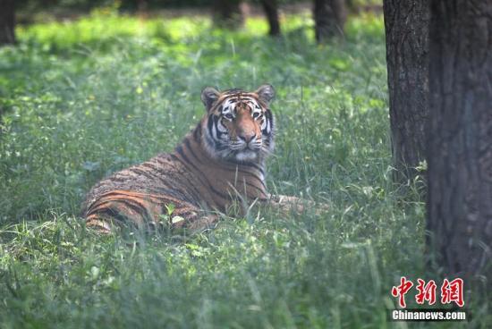"""资料图:威猛的东北虎躲在树荫下""""慵懒""""地休息。 张瑶 摄"""