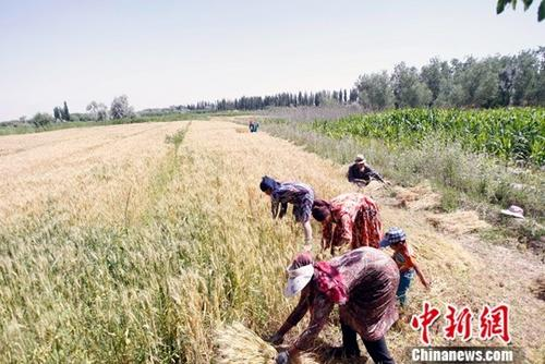 资料图:新疆喀什地区巴楚县,当地农民正在抢收夏粮。中新社记者 王小军 摄