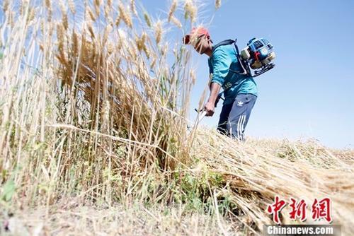 6月9日,在新疆喀什地区巴楚县,当地农民正在抢收夏粮。进入6月,新疆1760万亩小麦陆续开镰收割。据悉,今年新疆粮食种植面积3406万亩,其中小麦种植面积1760万亩,预计小麦产量可达到660万吨。<a target='_blank' href='http://www.chinanews.com/'>中新社</a>记者 王小军 摄