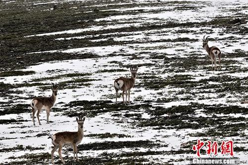 """9月4日下午,4只藏原羚在青海可可西里自然保护区的公路旁向路人张望。可可西里意为""""美丽的少女"""",总面积约24万平方公里,是目前世界上原始生态环境保存最为完美的地区之一,当地气候严寒,自然条件恶劣,人类无法居住,被称为""""生命的禁区""""。正因为如此,可可西里给高原野生动物创造了得天独厚的条件,成为野生动物的""""快乐天堂""""。 中新社记者 胡友军 摄"""
