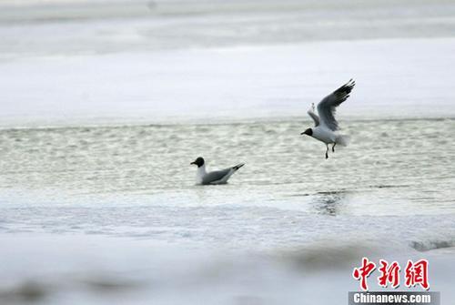 五月中旬,两只灰雁在可可西里无人区多格错仁附近的冰河中嬉戏。 中新社记者 武仲林 摄