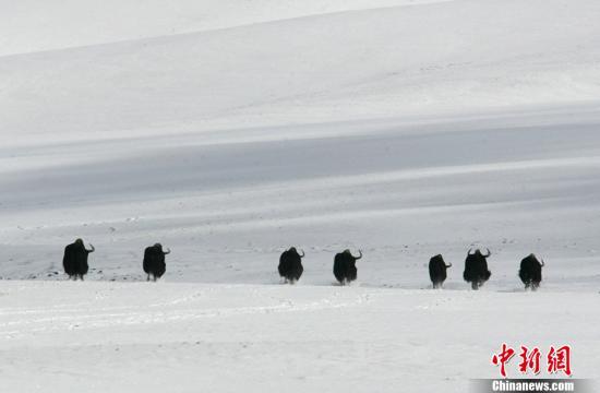 青海三江源核心区降雪气温骤降至0度犹如过冬