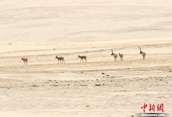 可可西里藏羚羊开始大规模回迁 迁徙之谜至今未解
