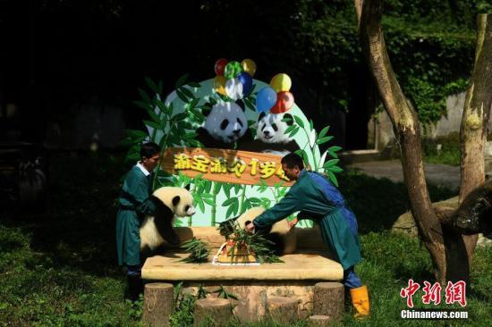 7月11日,重庆杨家坪动物园为双胞胎大熊猫举办一周岁生日会,并邀请了7月11日出生双胞胎小朋友们参与其中。活动现场,小朋友们亲手为动物园的双胞胎大熊猫制作了一个生日蛋糕,与大熊猫一起过生日。图为双胞胎熊猫正在吃蛋糕。 陈超 摄