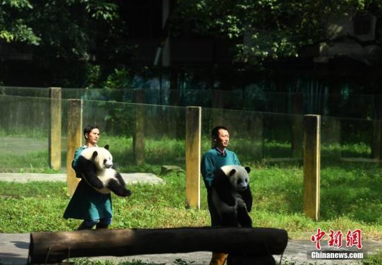 7月11日,重庆杨家坪动物园为双胞胎大熊猫举办一周岁生日会,并邀请了7月11日出生双胞胎小朋友们参与其中。活动现场,小朋友们亲手为动物园的双胞胎大熊猫制作了一个生日蛋糕,与大熊猫一起过生日。图为动物园的工作人员把双胞胎熊猫抱到室外与游客见面。 陈超 摄