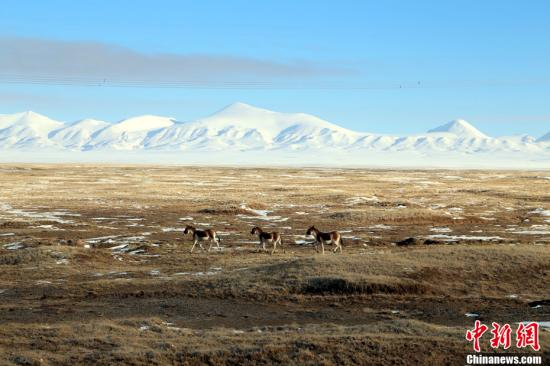 """【自然遗产部分】可可西里国家级自然保护区位于青海省西北部,是目前世界上原始生态环境保存较好的自然保护区,也是目前中国建成的面积最大,海拔最高,野生动物资源最为丰富的自然保护区之一。可可西里地区气候严酷,自然条件恶劣,年平均气温-4.4℃~10℃,最低气温-46℃,人类无法长期居住,故被称为""""世界第三极""""。正因为如此,高原野生动物获得了得天独厚的生存条件,使得该地区成为了""""野生动物的乐园""""。藏羚羊是该保护区的代表物种,同时雪豹,棕熊等珍稀食肉动物也有分布。 记者 赵凛松 摄"""